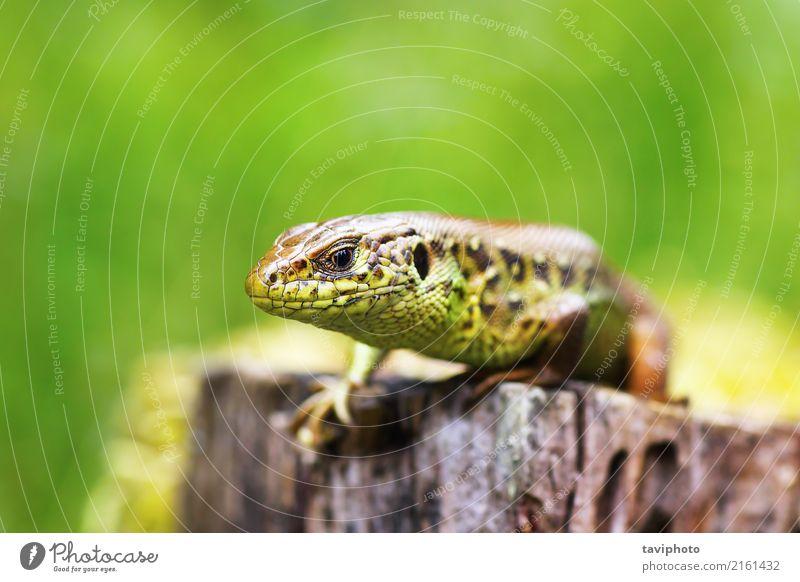 Makro Kopf einer männlichen Sand Eidechse Natur Mann Farbe schön grün Tier Erwachsene Umwelt natürlich klein braun wild Haut Lebewesen Europäer