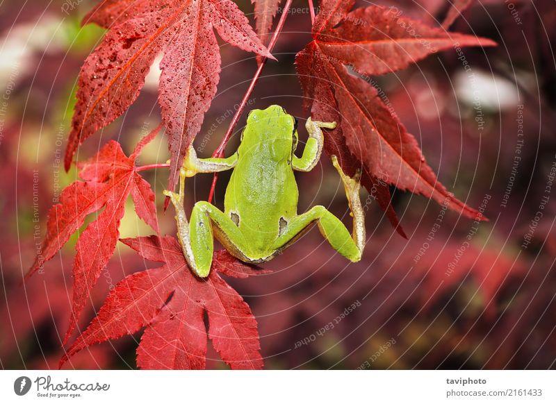 grüner Baumfrosch, der auf japanischem Ahorn klettert schön Garten Klettern Bergsteigen Finger Umwelt Natur Tier Blatt Wald klein natürlich niedlich wild Farbe