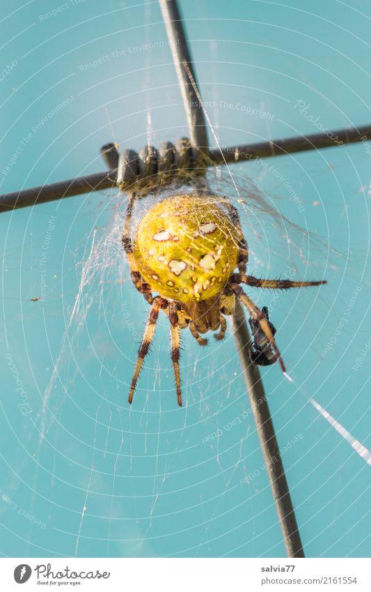 gespinnstisch Himmel Tier Spinne Kreuzspinne 1 beobachten fangen krabbeln bedrohlich Ekel blau gelb geduldig Symbole & Metaphern Mischung Spinnenbeine Beute