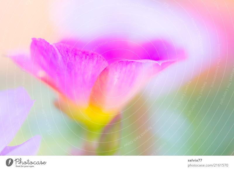 Pastell Natur Pflanze Sommer schön grün weiß Blume Erholung ruhig Blüte Garten rosa hell Blühend weich zart