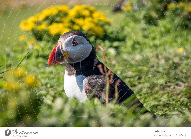 Warten auf Ablösung Natur Pflanze Tier Sommer Blume Gras Blüte Wiese Küste Meer Atlantik Insel Vogel Papageitaucher 1 beobachten hocken außergewöhnlich schön