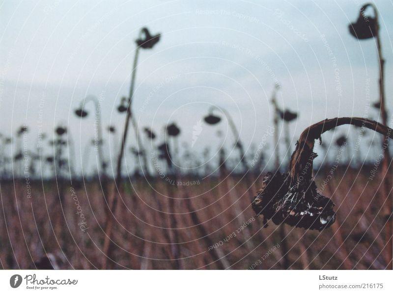 verwelkt - analog Pflanze ruhig Umwelt Herbst Tod grau Traurigkeit braun Feld trist Vergänglichkeit Trauer verfallen Ende Verfall Sonnenblume