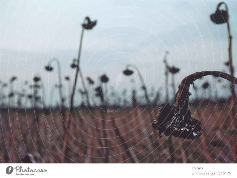 verwelkt - analog Umwelt Pflanze Herbst Nutzpflanze Feld Traurigkeit verblüht trist braun grau ruhig Trauer Erschöpfung Schwäche Vergänglichkeit Sonnenblume