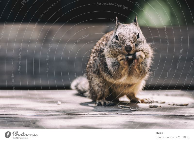 Grauhörnchen Tier Wildtier Fell Pfote 1 gebrauchen beobachten Essen Fressen hocken Blick frei kuschlig nah natürlich Neugier niedlich wild braun gelb