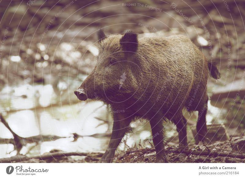 vorbei trotten Natur Tier grau braun Wildtier natürlich Fröhlichkeit Zoo Lebensfreude Pfütze Schlamm Wasser Schwein Borsten Rüssel Freude