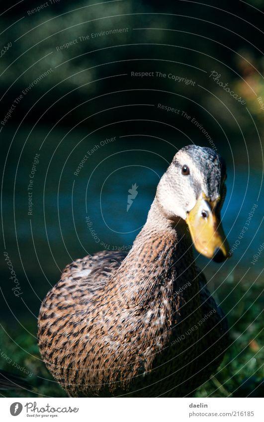 Stockente Tier Vogel Tiergesicht 1 Neugier gelb Ente Entenvögel Gans Wasser Gras Feder Flügel Schnabel frech Farbfoto Nahaufnahme Starke Tiefenschärfe