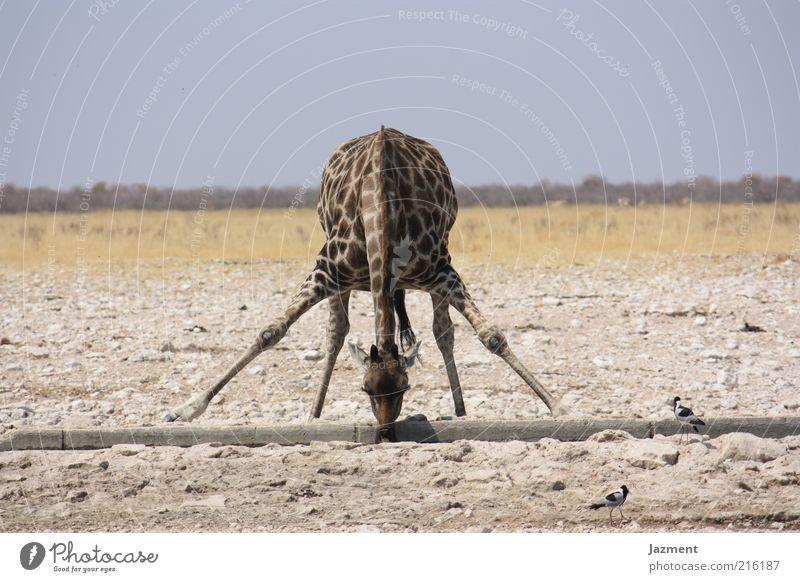 Durst Wasser Tier lustig Zufriedenheit außergewöhnlich Körperhaltung trinken beweglich Dürre Perspektive Giraffe Tierporträt Aktion Licht mehrfarbig Savanne