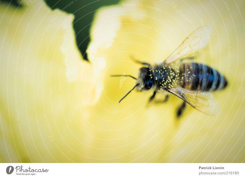 Blütenstaubzauber Natur schön Pflanze Sommer Tier gelb Arbeit & Erwerbstätigkeit Gefühle Umwelt weich Flügel zart Biene Wildtier Sammlung