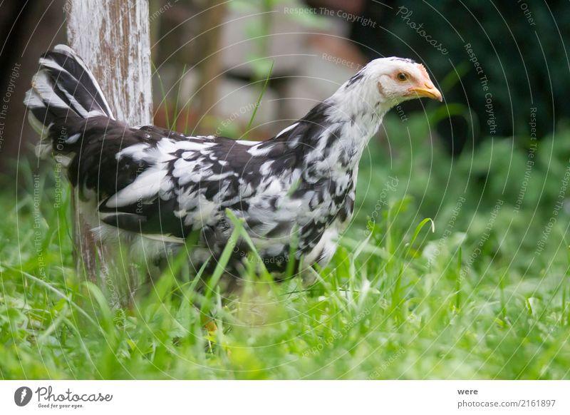 Junghenne on Tour Landwirtschaft Forstwirtschaft Natur Tier Haustier Nutztier Vogel Flügel 1 frei Neugier Bauernhof Ei Flora und Fauna Freilaufendes Huhn