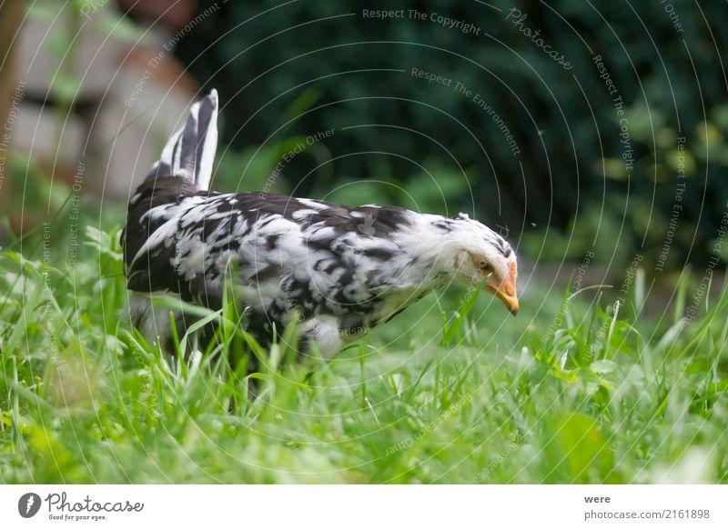 Junghenne auf Jagd Landwirtschaft Forstwirtschaft Natur Tier Vogel frei Neugier Bauernhof Ei Flora und Fauna Freilaufendes Huhn Geflügel Geografie Hahn Haushuhn
