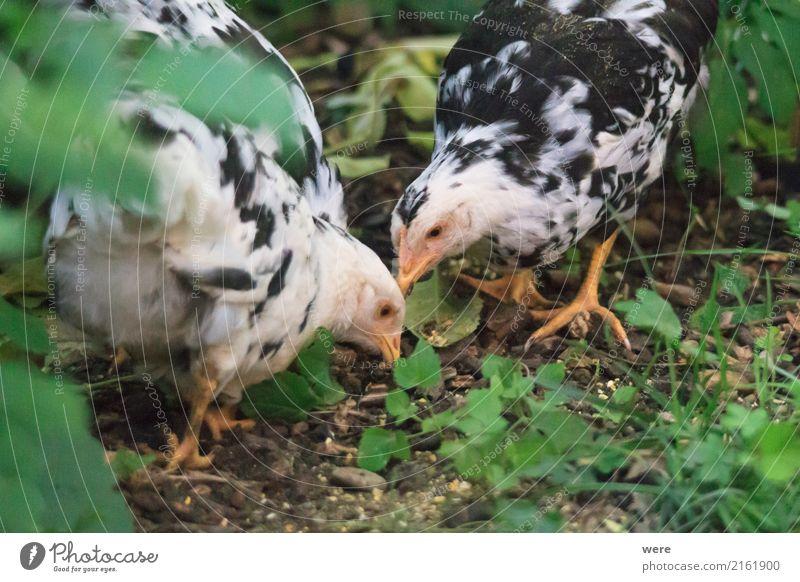 Futtersuche Landwirtschaft Forstwirtschaft Natur Tier Haustier Nutztier Vogel Essen Fressen Bauernhof Ei Flora und Fauna Freilaufendes Huhn Geflügel Hahn