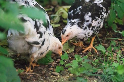 Futtersuche Natur Tier Essen Vogel Landwirtschaft Bauernhof Haustier Fressen Forstwirtschaft Haushuhn Nutztier Hahn Küken Geflügel Züchter