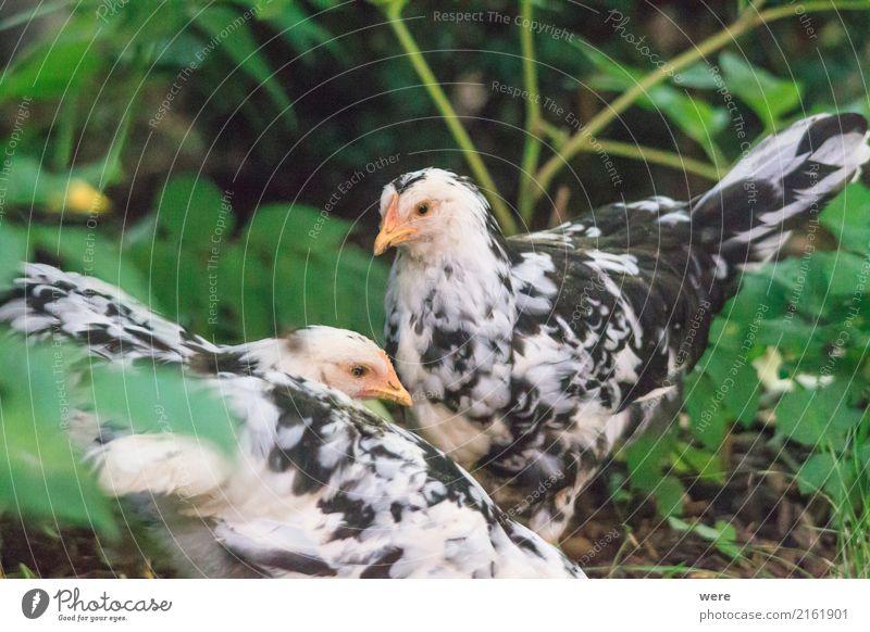 Junge Hühner Landwirtschaft Forstwirtschaft Natur Tier Nutztier Vogel Bauernhof Ei Flora und Fauna Freilaufendes Huhn Geflügel Hahn Haushuhn Junghenne Küken