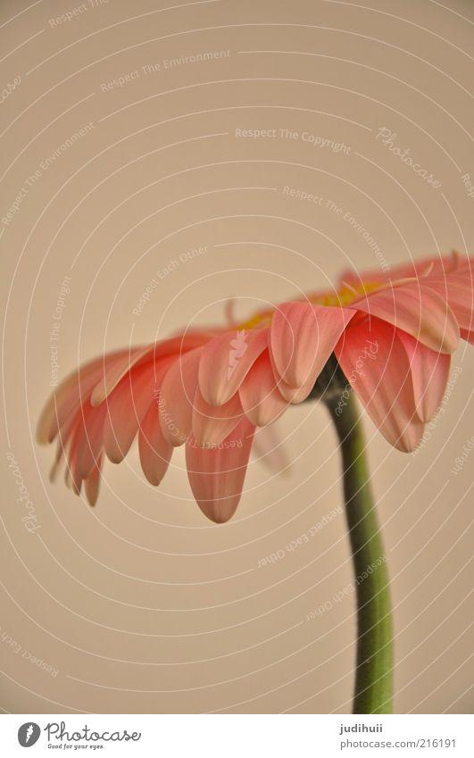 Gerbera II Umwelt Natur Sommer Pflanze Blume Blüte Blütenblatt rosa Stengel stehen schön weich grün Blumenstengel Menschenleer Farbfoto Innenaufnahme
