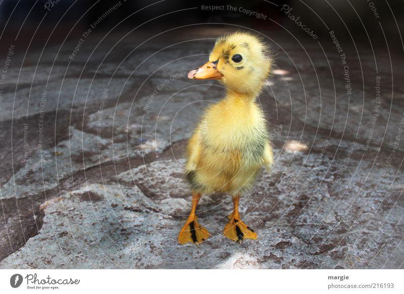 Lauf...Entchen...lauf schön Freude Tier gelb Straße Gefühle Vogel Glück träumen Stein Wege & Pfade klein gehen laufen Fröhlichkeit Tiergesicht