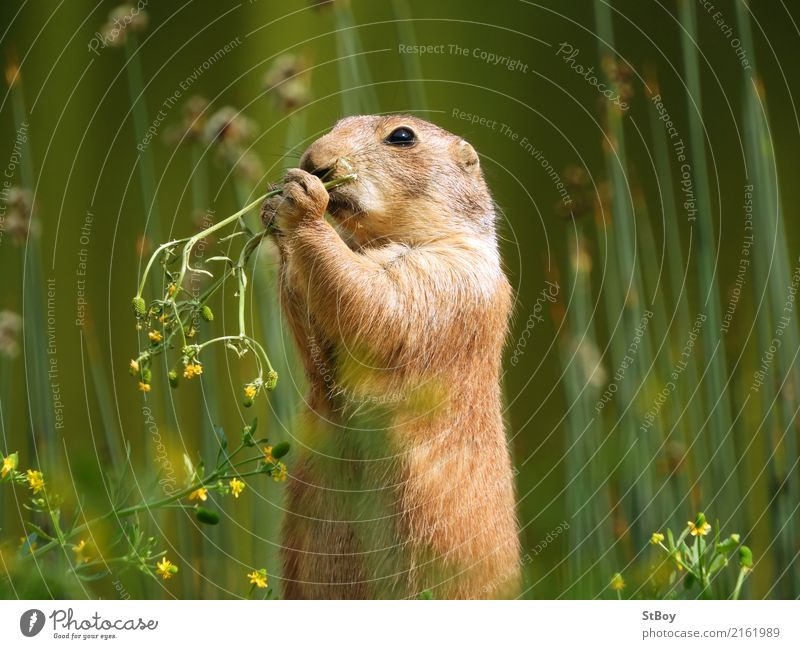 Präriehund auf Futtersuche Natur Tier Wildtier Zoo 1 Essen niedlich grün Appetit & Hunger Kräuter & Gewürze Geruch Farbfoto Außenaufnahme Nahaufnahme