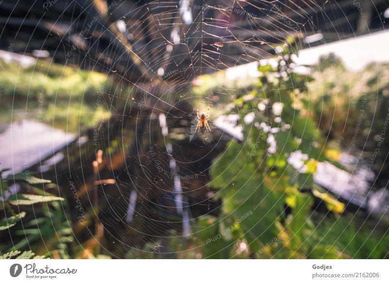 versponnene Angelegenheit Umwelt Wasser Sommer Pflanze Gras Sträucher Wildpflanze Flussufer Tier Nutztier Spinne 1 Jagd tragen bedrohlich Ekel exotisch blau