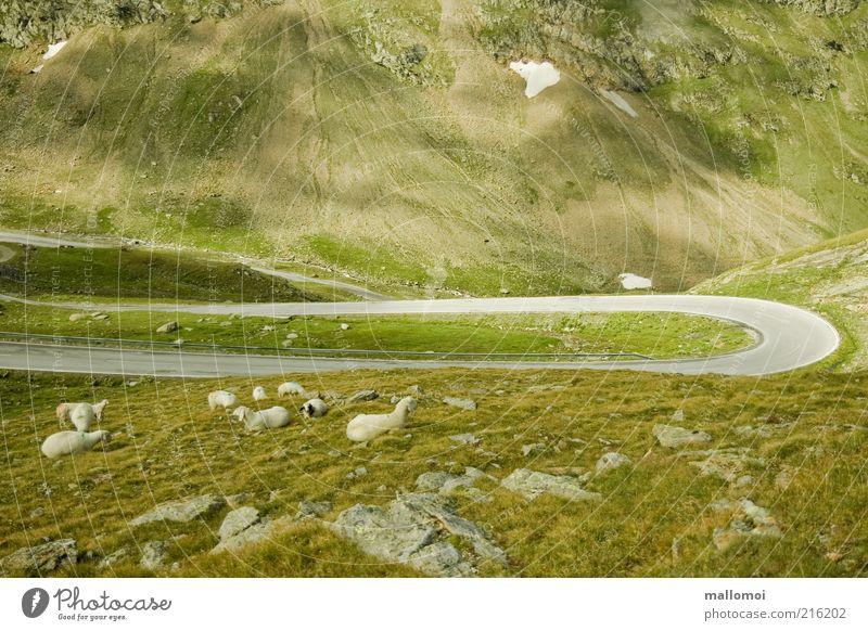 Schafe Kurve Umwelt Natur Felsen Alpen Berge u. Gebirge Verkehr Verkehrswege Straßenverkehr Wege & Pfade Landstraße Kurvenlage Tier Nutztier Tiergruppe grün