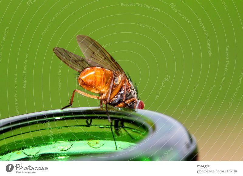 Was gibt`s zu trinken? grün Tier gelb Glas sitzen Fliege Ernährung Getränk Flügel Neugier genießen Biene Insekt Appetit & Hunger Flasche