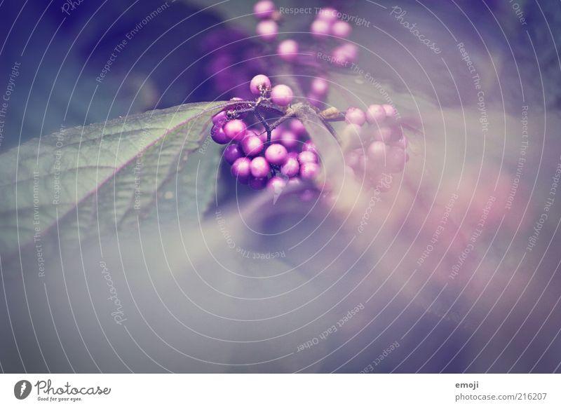 hot berry Natur schön Pflanze Blatt Sträucher violett Vergänglichkeit Beeren Frucht Nahaufnahme