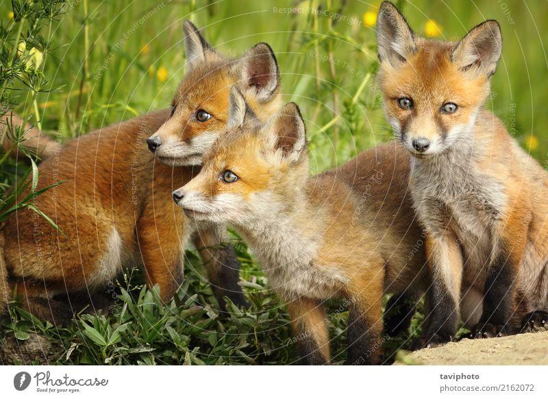 Red Fox Brüder in der Nähe der Höhle Natur Hund Farbe schön grün rot Tier Gesicht Tierjunges Umwelt natürlich Gras Familie & Verwandtschaft klein braun
