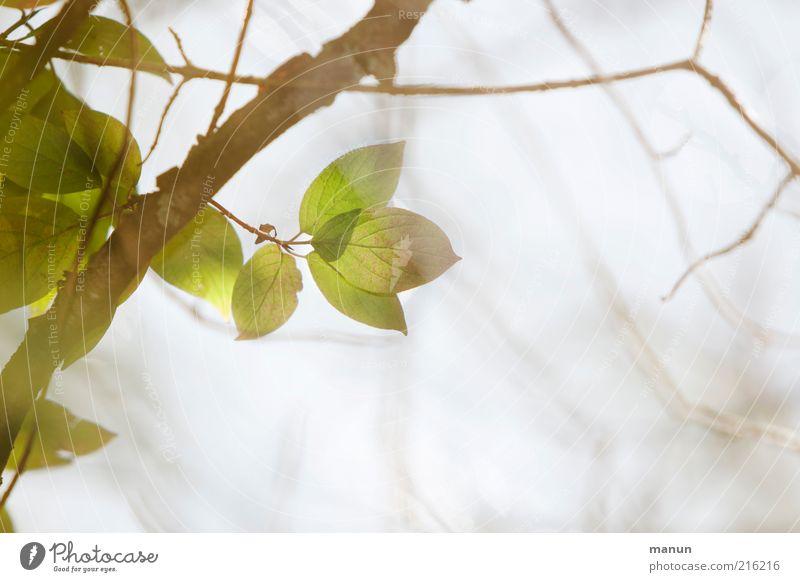verästelt Natur Baum Blatt hell ästhetisch Wachstum natürlich Wandel & Veränderung Vergänglichkeit zart Ast Zweig verblüht Herbstlaub herbstlich