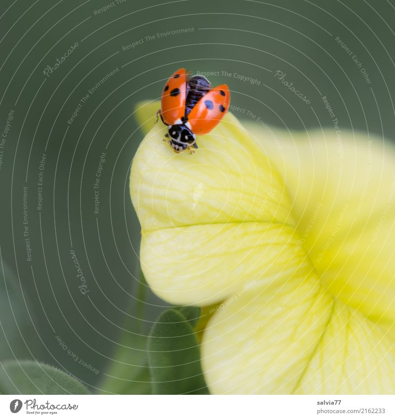 fliegt er oder nicht? Wellness harmonisch Wohlgefühl Valentinstag Muttertag Natur Pflanze Blume Blüte Petunie Garten Tier Käfer Flügel Insekt Marienkäfer 1