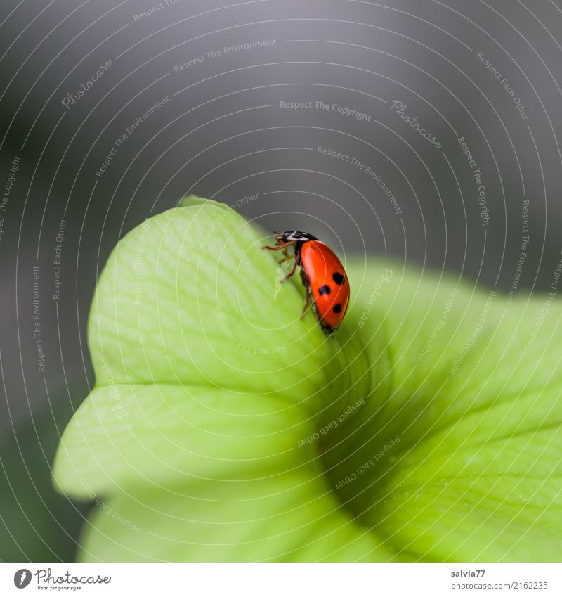 klein aber fein Natur Sommer Blume Blüte Petunie Garten Tier Käfer Insekt Marienkäfer Siebenpunkt-Marienkäfer 1 krabbeln positiv schön gelb grau orange