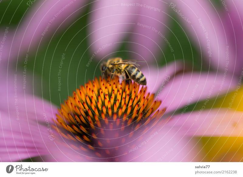Purpur-Sonnenhut Natur Sommer Pflanze Farbe grün Blume Tier ruhig Leben Blüte Garten orange Park Blühend Wellness violett