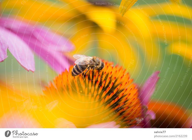 Sonnenhüte Natur Pflanze Sommer Farbe schön grün Blume Erholung Tier ruhig gelb Blüte Glück Garten rosa orange