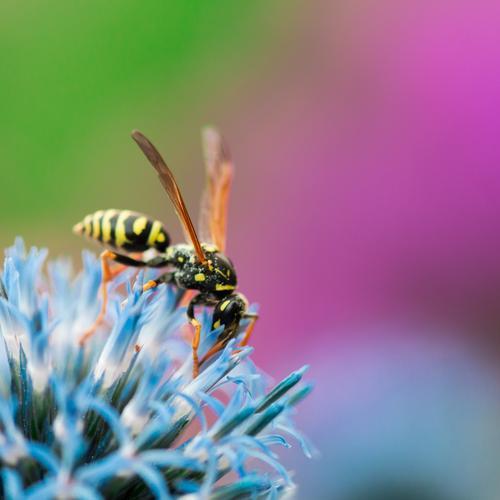 Feldwespe Natur Pflanze Tier Frühling Sommer Blume Distel Garten Wespen Insekt 1 Duft stachelig süß blau grün violett Farbe Kugeldistel Nektar bestäuben