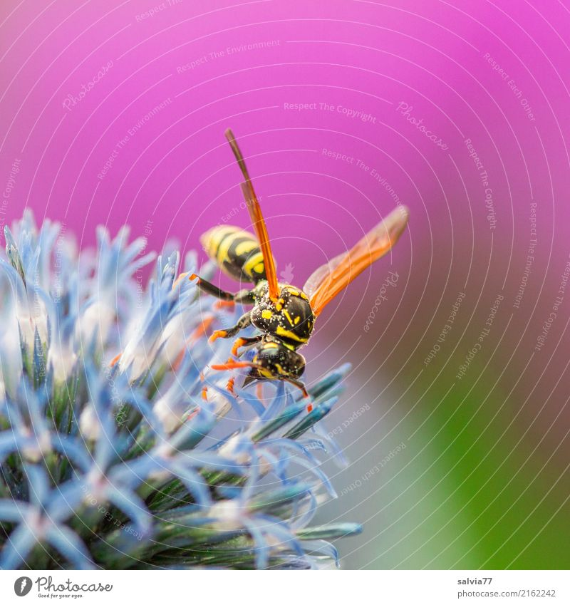 Feldwespenlieblingsblume Natur Sommer Pflanze Blume Blüte Distelblüte Garten Tier Flügel Insekt Wespen 1 Blühend Duft genießen blau grün rosa Farbe bestäuben