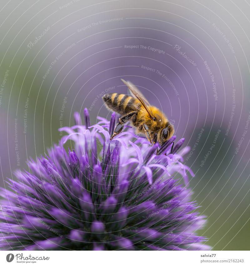 leckere Kugel Natur Sommer Blume Blüte Distel Kugeldistel Garten Nutztier Biene Honigbiene Insektenstich 1 Tier Blühend ästhetisch Spitze violett Duft emsig