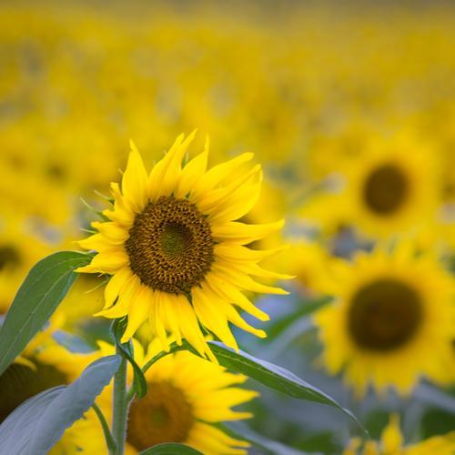 Lass die Sonne in dein Herz Natur Pflanze Sommer grün Blume Blatt gelb Umwelt Blüte Glück braun leuchten Feld Blühend Energie