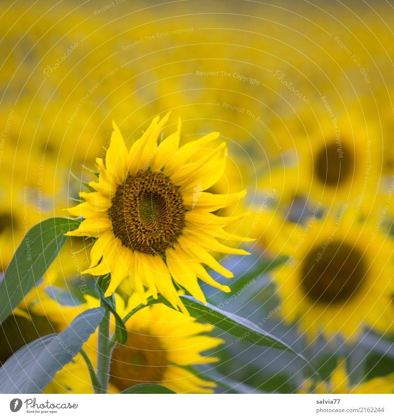 Lass die Sonne in dein Herz Umwelt Natur Pflanze Sommer Blume Blatt Blüte Nutzpflanze Sonnenblumenfeld Feld Duft leuchten Freundlichkeit positiv braun gelb grün