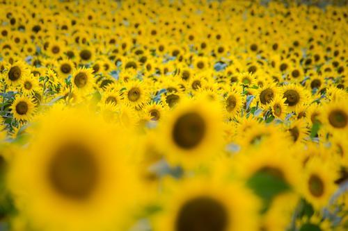 sonnige Blumen Landschaft Pflanze Sonne Sommer Blüte Nutzpflanze Sonnenblumenfeld Garten Feld Blühend Duft Freundlichkeit Wärme braun gelb Energie