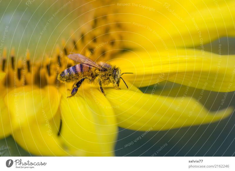 die Nase voll Natur Pflanze Sommer Sonne Blume Tier Wärme gelb Blüte Garten braun Insekt Duft Biene Blütenblatt Sonnenblume
