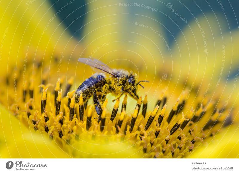 Pollenbad Natur Pflanze Tier Sommer Blume Blüte Nutzpflanze Sonnenblume Garten Nutztier Fliege Insekt Honigbiene 1 Blühend Duft krabbeln gelb Leben Sammlung