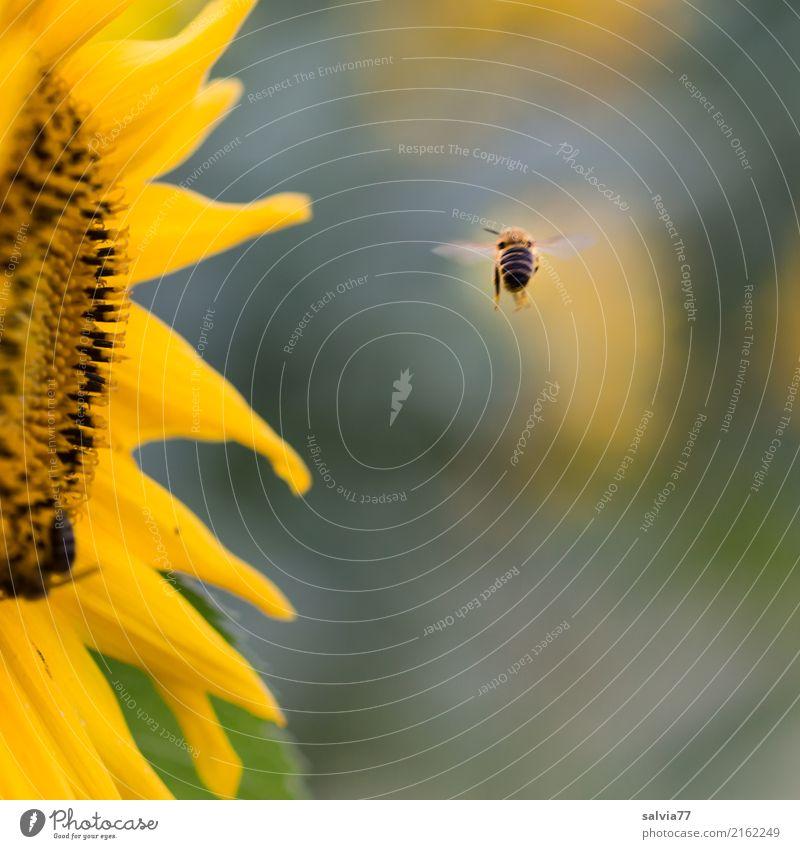 600 | ... auf zur nächsten... Natur Sonne Sommer Pflanze Blume Blüte Nutzpflanze Sonnenblume Garten Tier Biene Honigbiene Insekt 1 Blühend Duft fliegen braun