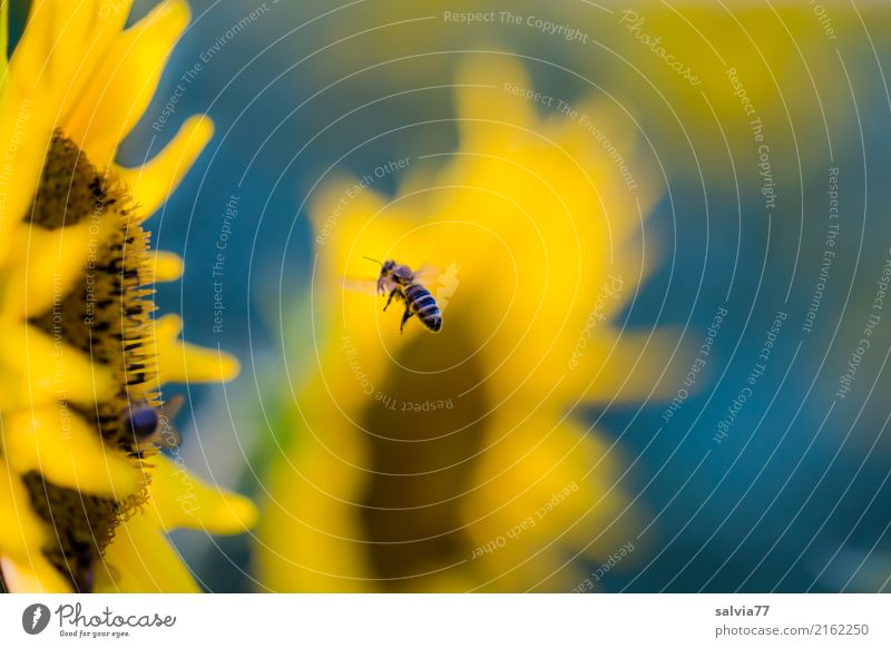 Jahreszeiten | sonniger Sommer Natur blau Pflanze Blume gelb Umwelt Blüte Garten braun fliegen Feld Blühend Energie Ziel Insekt