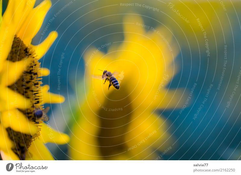 Jahreszeiten | sonniger Sommer Umwelt Natur Pflanze Blume Blüte Sonnenblumenfeld Garten Feld Nutztier Biene Honigbiene Insekt Blühend Duft blau braun gelb