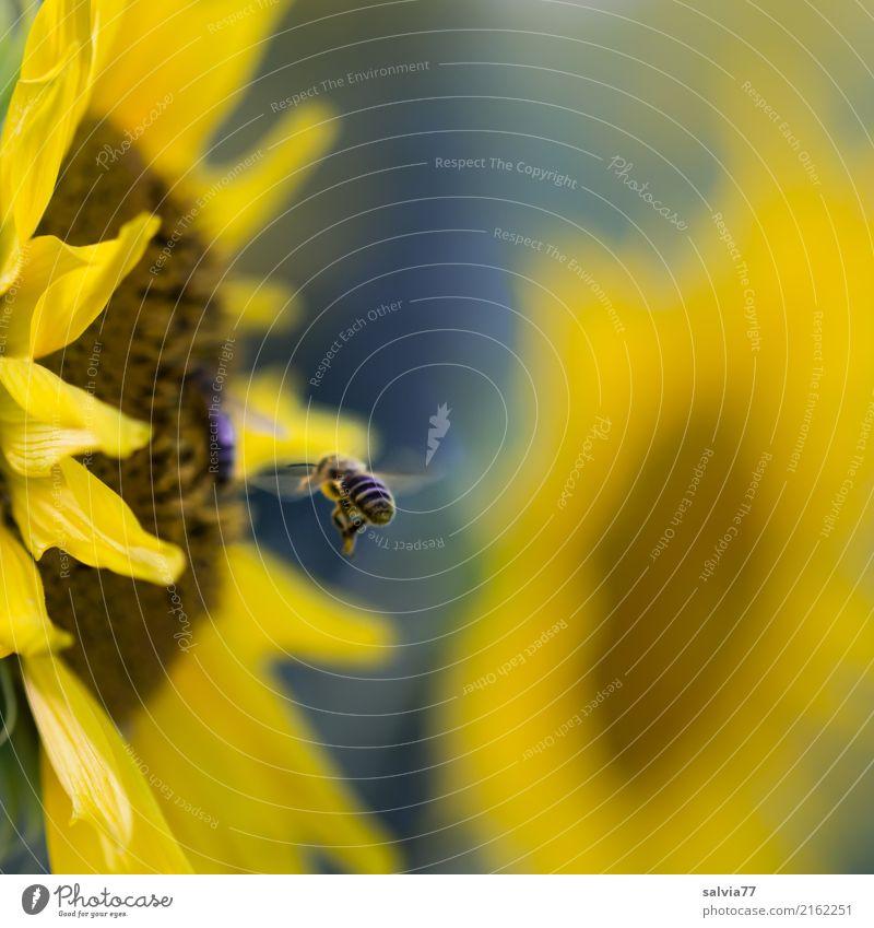 klares Ziel Umwelt Natur Pflanze Tier Sonne Sommer Blume Blüte Nutzpflanze Sonnenblume Garten Feld Nutztier Biene Flügel Honigbiene Bienenweide Insekt 1 fliegen