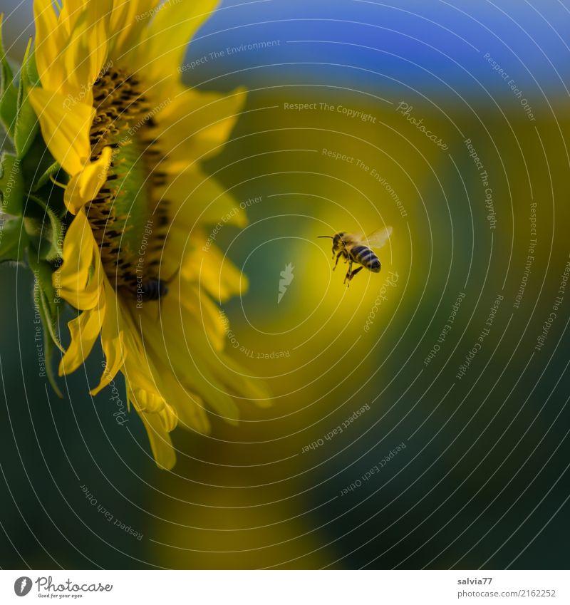 Auf dem Weg Umwelt Natur Pflanze Sommer Blume Blüte Nutzpflanze Sonnenblumenfeld Garten Feld Tier Nutztier Biene Insekt Honigbiene 1 Blühend fliegen blau gelb