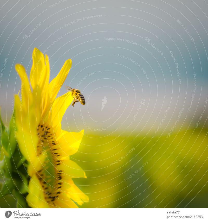 der Sonne entgegen Umwelt Natur Himmel Sommer Klima Schönes Wetter Pflanze Blume Blüte Nutzpflanze Sonnenblume Garten Feld Tier Nutztier Biene Insekt Honigbiene