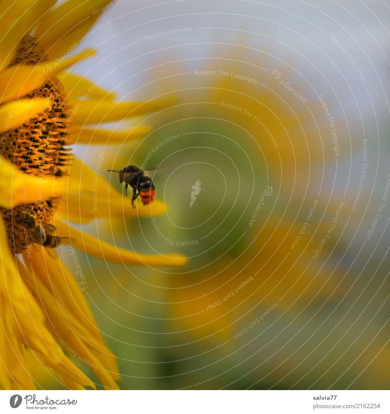 magisch angezogen Umwelt Natur Himmel Sonne Sommer Schönes Wetter Pflanze Blume Blüte Nutzpflanze Sonnenblume Garten Feld Tier Flügel Hummel Steinhummel Insekt
