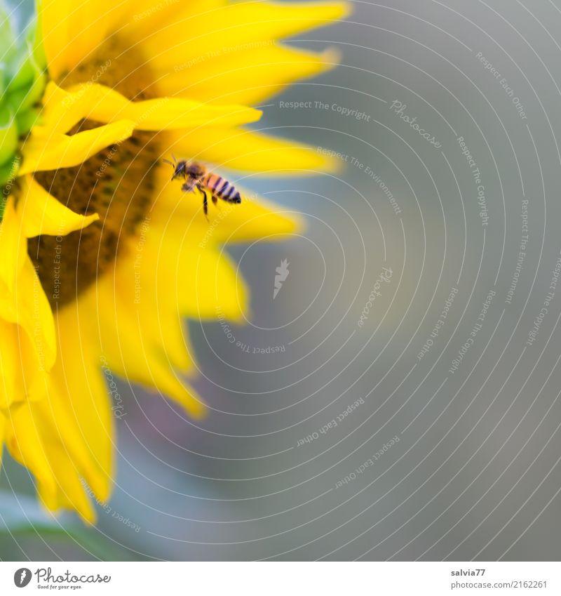 sonnige Tankstelle Natur Pflanze Sommer Blume Blüte Garten Tier Biene Honigbiene Insekt 1 Duft fliegen braun gelb grau Farbe Leichtigkeit Umwelt fleißig Pollen