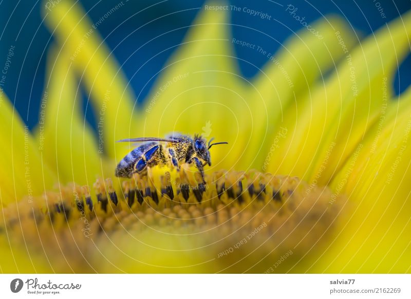 von der Dämmerung überrascht Natur Sommer Pflanze Blume Blüte Nutzpflanze Sonnenblume Garten Feld Tier Nutztier Biene Insekt Honigbiene 1 gelb Pollen Nektar