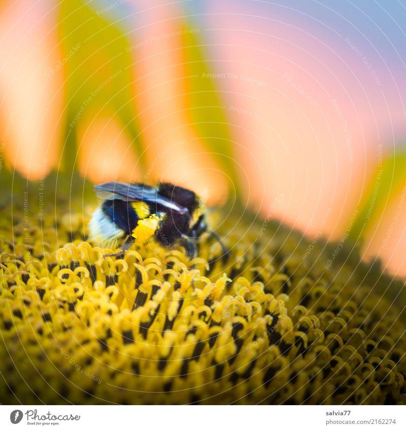 Hummel-Wellness Natur Sommer Blume Blüte Sonnenblume Garten Tier Insekt 1 Blühend Duft genießen krabbeln Liebe lecker positiv gelb orange schwarz Nektar Essen
