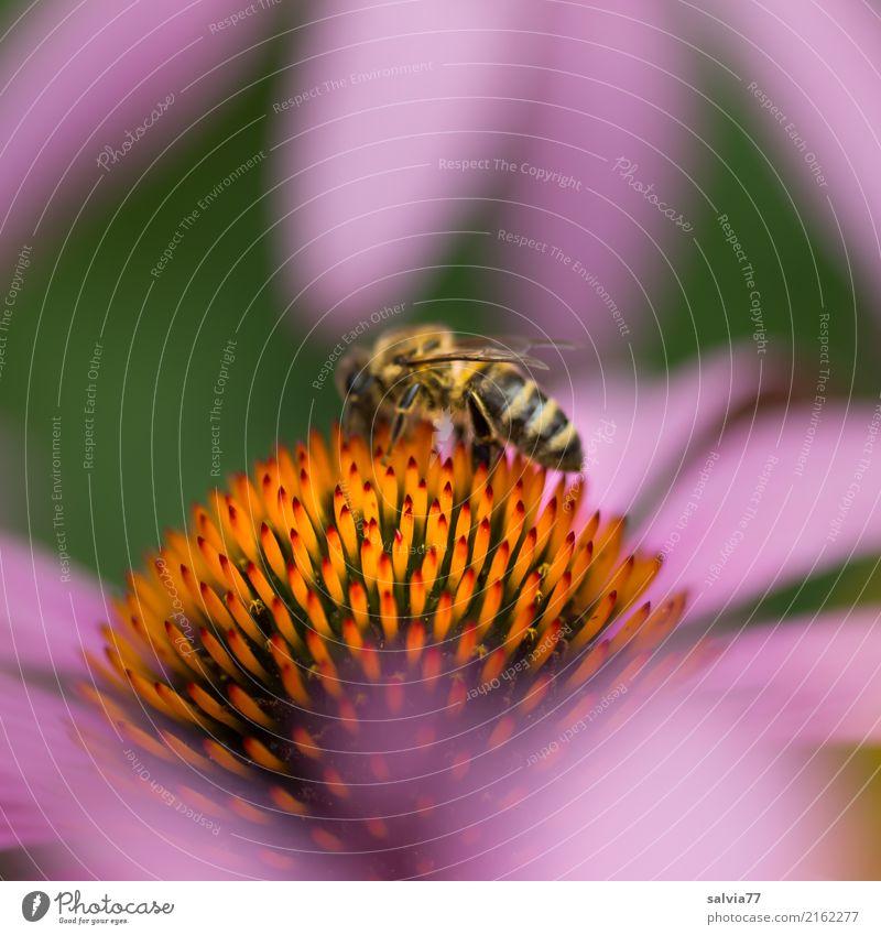 süße Spitzen Alternativmedizin Leben harmonisch Wohlgefühl ruhig Duft Natur Sommer Pflanze Blume Blüte Sonnenhut Roter Sonnenhut Garten Nutztier Biene