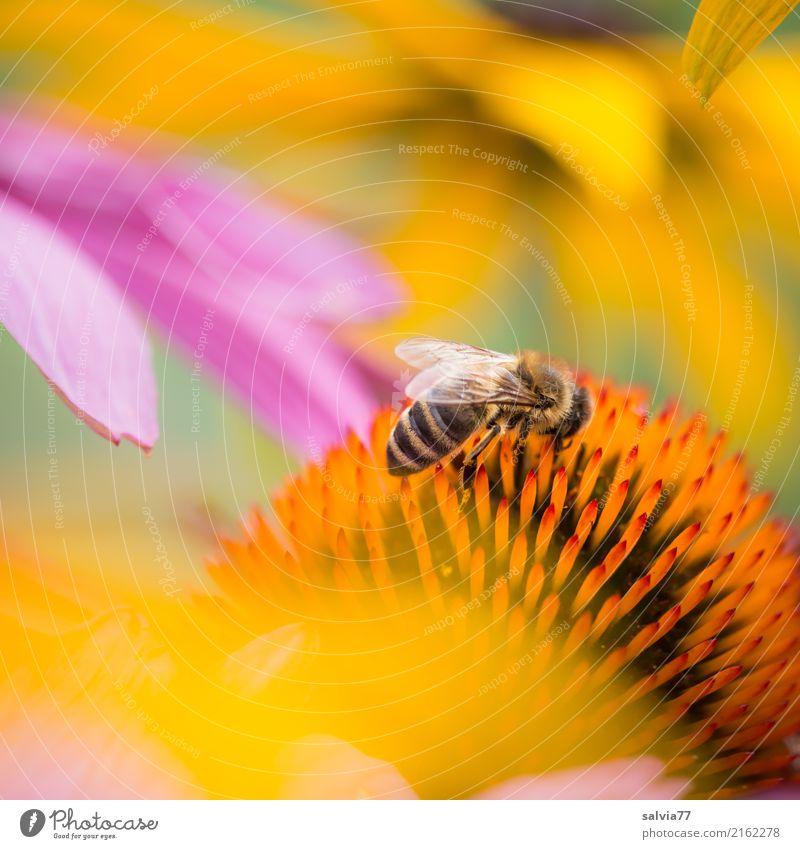Sommergruß Alternativmedizin harmonisch Umwelt Natur Schönes Wetter Pflanze Blume Blüte Roter Sonnenhut Garten Tier Nutztier Biene Insekt Honigbiene Blühend